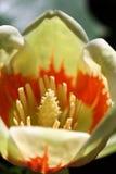北部03卡罗来纳州的木兰 免版税库存图片