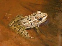 北青蛙的豹子 免版税库存照片