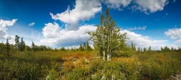 北风景的全景与桦树的 免版税图库摄影