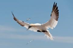 北飞行的gannet 库存图片