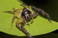 北绿色跳跃的蜘蛛特写镜头  库存图片
