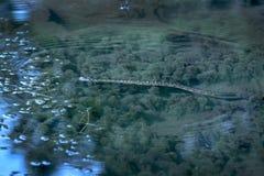 北水蛇, Nerodia sipedon,游泳在池塘, Belding蜜饯,弗农, 库存图片