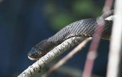 北水蛇 图库摄影
