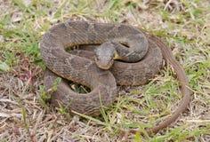 北水蛇(Nerodia sipedon) 免版税库存照片