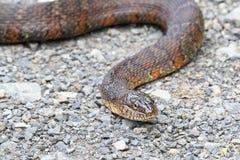 北水蛇nerodia sipedon 免版税库存图片