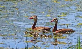 北黑鼓起的吹哨的鸭子家庭 库存图片