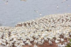 北gannets大殖民地在博纳旺蒂尔海岛& x28; Quebec& x29; 免版税库存照片