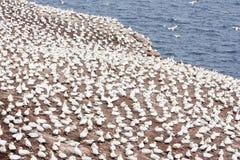 北gannets大殖民地在博纳旺蒂尔海岛& x28; Quebec& x29; 图库摄影