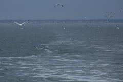 北gannets腾飞在特拉华河的嘴 免版税库存图片