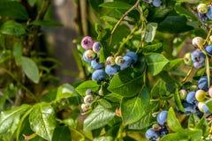 北highbush蓝莓牛痘corymbosum -落叶灌木用可口果子 库存照片