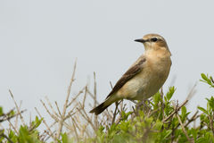 北oenanthe麦翁之类的鸣禽 免版税库存照片