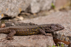 北Tenerife蜥蜴 库存图片