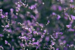 匙叶草的紫罗兰色花在草甸 库存图片