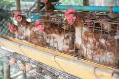 黑匣子蛋母鸡 免版税库存照片