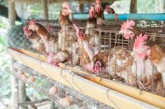 黑匣子蛋母鸡 免版税库存图片