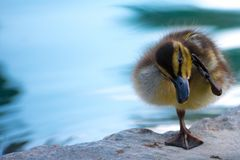 匪盗珍贵的婴孩鸭子 免版税库存图片