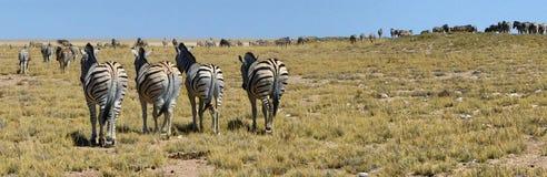 4匹斑马在与斑马牧群的大开风景排队了在天际 库存图片