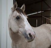 2匹美丽的马在得克萨斯小山国家 免版税库存图片