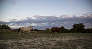 2匹美丽的马横跨得克萨斯小山国家疾驰 图库摄影