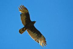 区域在飞行中被盯梢的鹰 免版税图库摄影