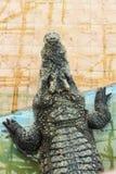区大鳄鱼大泰国动物园 泰国鳄鱼 聚会所 淡水鳄鱼 免版税库存照片