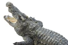 区大鳄鱼大泰国动物园 泰国鳄鱼 聚会所 淡水鳄鱼 免版税图库摄影