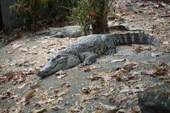 区大鳄鱼大泰国动物园 免版税库存照片