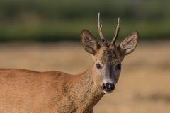 区鹿本质獐鹿俄语voronezh 库存照片