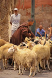 2008区gottic巴塞罗那的barri可以场面西班牙街道 绵羊在Bab Khemis 马拉喀什 摩洛哥 免版税库存照片