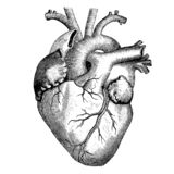 医学-人的心脏-维多利亚女王时代解剖图画 免版税库存图片
