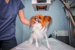 医生审查的狗在X-射线屋子里 免版税库存照片
