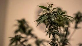 医疗大麻植物 大麻 漂白亚麻纤维 免版税库存照片