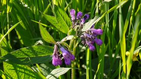 医疗草本共同的雏菊 紫草科植物在狂放的草甸的officinale花 静态照相机英尺长度射击  股票录像