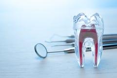 医科学生的牙医透明牙模型有牙齿探针、镜子和两位探险家的 牙齿卫生学和 免版税库存图片
