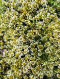 医药春黄菊巨大的花束在桌上的 免版税库存图片