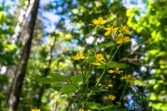 医药草本白屈菜或白屈莱属majus逗人喜爱的黄色花在一块晴朗的森林沼地的在莫斯科郊区 库存图片
