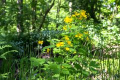 医药草本白屈菜或白屈莱属majus逗人喜爱的黄色花在一块晴朗的森林沼地的在莫斯科郊区 免版税库存照片