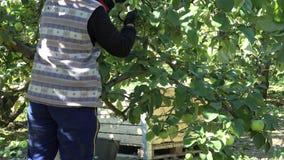 匿名的庭院工作者用帽子收获苹果在果树园果子种植园 4K 股票视频