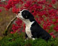 十一个星期年纪母小狗老英国牛头犬 免版税图库摄影