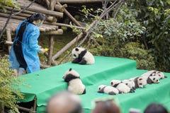 十一只在成都大熊猫饲养研究基地的小熊猫第一公开显示  免版税库存图片