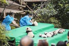 十一只在成都大熊猫饲养研究基地的小熊猫第一公开显示  免版税库存照片