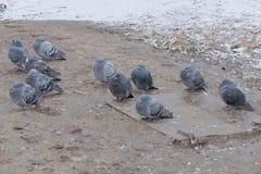 十一只鸽子 免版税库存图片