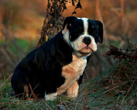 十三个星期年纪母小狗老英国牛头犬 免版税库存图片