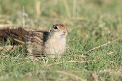 十三排行了与困惑的表示的地松鼠 免版税库存图片