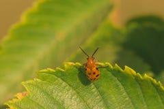 十二垂悬在叶子的被察觉的芦笋甲虫 库存图片