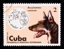 十二指肠虫Ancylostoma caninum,狗天狼犬座familiaris,兽医serie,大约1975年 免版税库存图片