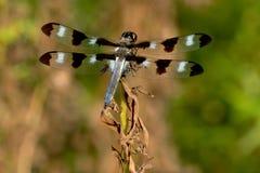 十二被察觉的漏杓蜻蜓 免版税库存图片
