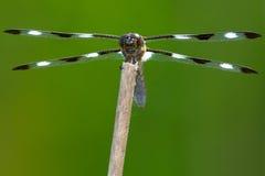 十二被察觉的漏杓蜻蜓 图库摄影