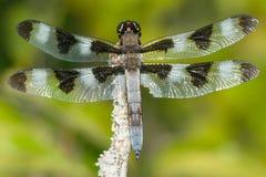 十二被察觉的漏杓蜻蜓 免版税库存照片