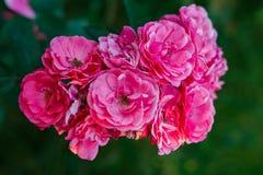 十朵可爱的桃红色玫瑰 图库摄影